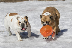 Twee buldoggen die in de sneeuw spelen royalty-vrije stock foto