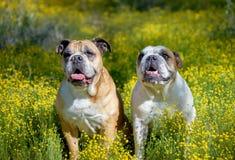 Twee buldoggen die samen in wildflowers stellen stock afbeelding