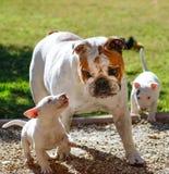 Twee bull terrier-puppy die een buldog proberen ertoe te brengen om te spelen Royalty-vrije Stock Foto's