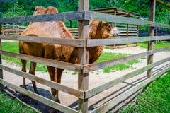 Twee bultenkameel in zijn pen die dier in gevangenschap geacclimatiseerde bruine pluizig petting van de landbouwbedrijfdierentuin royalty-vrije stock foto's