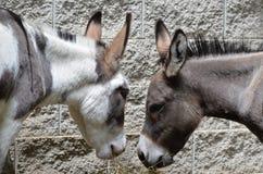 Twee burros stock foto