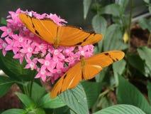 Twee butterflys Stock Fotografie