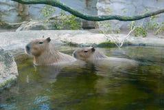 Twee capybaras die in het water zitten Stock Foto