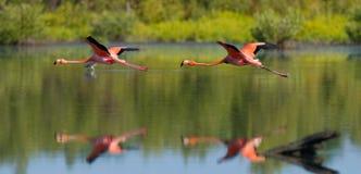 Twee Caraïbische flamingo's die over water met bezinning vliegen cuba Reserve Rio Maxim а royalty-vrije stock afbeeldingen