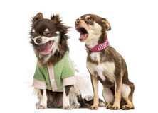 Twee Chihuahua het schreeuwen Stock Foto's
