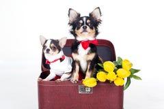 Twee chihuahuahonden zitten in doos Royalty-vrije Stock Fotografie