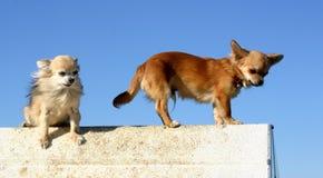 Twee chihuahuas Royalty-vrije Stock Fotografie