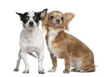 Twee Chihuahuas, 4 jaar oud en 18 maanden oud Stock Foto's