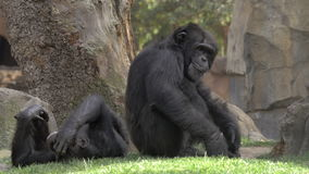 Twee chimpansees in de dierentuin