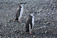 Twee Chinstrap-pinguïnen in Antarctica Stock Fotografie