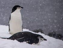Twee Chinstrap-Pinguïnen die in Antarctica rusten royalty-vrije stock foto