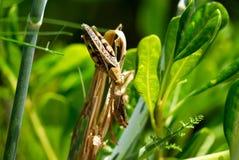 Twee cicaden willen contacteren stock foto