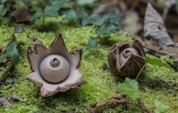 Twee Collared earthstar, triplex Geastrum royalty-vrije stock fotografie