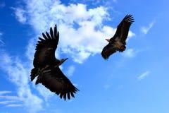 Twee condors stock afbeeldingen