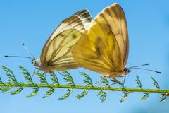 Twee copulating vlinders - het groen-geaderde wit - Pieris-napi Stock Foto's