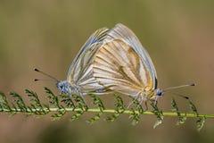 Twee copulating vlinders - het groen-geaderde wit - Pieris-napi Royalty-vrije Stock Afbeelding