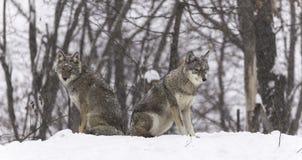 Twee coyotes in een de winterlandschap Stock Afbeeldingen