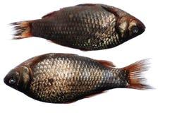 twee crucianvissen royalty-vrije stock afbeelding