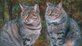 Twee dakloze grijze katten zitten op de straat stock videobeelden