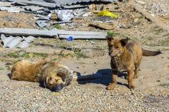 twee dakloze puppy op de straat Stock Foto