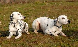 Twee Dalmatians Royalty-vrije Stock Afbeelding