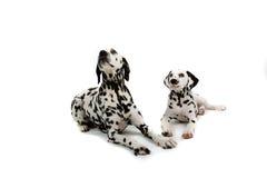 Twee dalmatians Stock Afbeeldingen