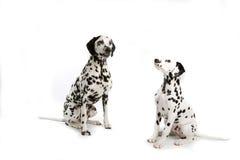 Twee Dalmatians Royalty-vrije Stock Afbeeldingen