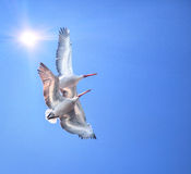 Twee Dalmatische Pelikanen Royalty-vrije Stock Foto
