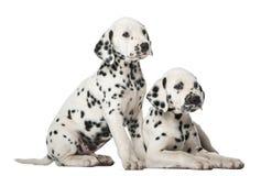 Twee Dalmatische puppy Stock Foto