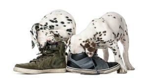 Twee Dalmatische puppy die schoenen kauwen Royalty-vrije Stock Foto
