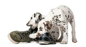 Twee Dalmatische puppy die schoenen kauwen Stock Afbeelding