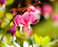 Twee de aftappende Bloemen van het Hart Stock Foto's