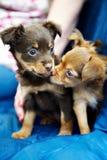 Twee de grappige Terriër van het puppyStuk speelgoed Stock Afbeeldingen