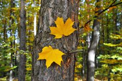 Twee de herfst gele bladeren op een boomboomstam De achtergrond van de herfst Rode en oranje het bladclose-up van de kleurenKlimo royalty-vrije stock foto