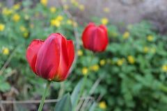 Twee de lente rode tulpen Royalty-vrije Stock Fotografie