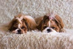 Twee de pluizige hond van shihtzu op de bank in de pluizige deken royalty-vrije stock afbeelding