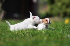Twee de terriërpuppy die van hefboomrussell op gras spelen Royalty-vrije Stock Afbeeldingen
