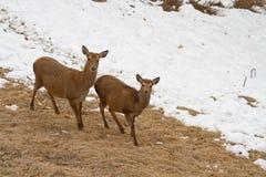 Twee deers Royalty-vrije Stock Afbeelding
