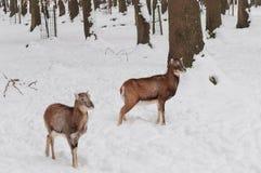 Deers in de sneeuw Royalty-vrije Stock Afbeelding