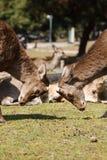 Twee deers zonder geweitak Royalty-vrije Stock Afbeelding