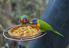 Twee dichte omhoog exotische kleurrijke rode blauwgroene papegaai Agapornis lor Royalty-vrije Stock Foto's
