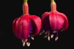 Twee die bloemen van fuchsia, knop, op zwarte achtergrond wordt geïsoleerd Stock Foto