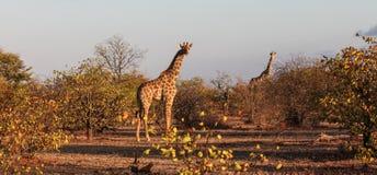 Twee die giraffen in avondlicht in struik Botswana wordt genomen royalty-vrije stock foto