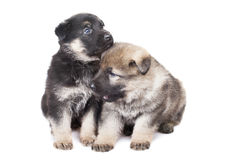 Twee die herdershond` s puppy over witte achtergrond worden geïsoleerd Royalty-vrije Stock Foto