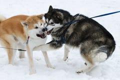 Twee die honden Huskies in de sneeuw wordt gespeeld Stock Foto