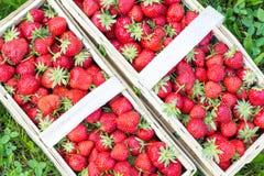 Twee die manden met aardige rijpe aardbeien worden gevuld Stock Foto's