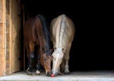 Twee die paarden op zwarte achtergrond worden geïsoleerd Royalty-vrije Stock Foto's