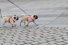 Twee die pugs op lood wordt gelopen Royalty-vrije Stock Foto's