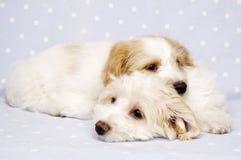 Twee die puppy op een blauwe achtergrond worden gelegd Stock Afbeeldingen
