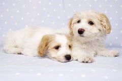 Twee die puppy op een blauwe achtergrond worden gelegd Royalty-vrije Stock Afbeeldingen